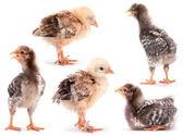 Kolekcja dziecka kurczaka — Zdjęcie stockowe