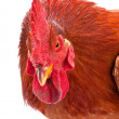 Red rooster - Foto de Stock