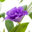 Eustoma flower - Foto de Stock