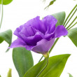 Eustoma flower — Stock Photo