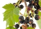 Black currant with leaf — Stock Photo