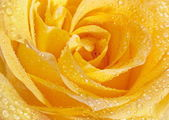 Yellow rose closeup head — Foto de Stock
