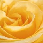 Yellow rose closeup head — Stock Photo #31660241