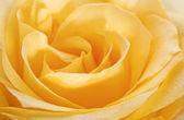 Yellow rose closeup head — Stock Photo