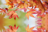 Branches d'érable japonais avec la réflexion de l'eau — Photo