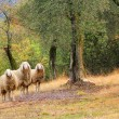Three sheeps in a olive grove — Stock Photo