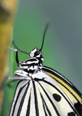 Closeup of sitting tropical butterfly — Stock Photo