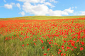 Red poppy hayfield and blue sky with clouds — Stock Photo
