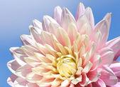 Chryzantema kwiat przeciw błękitne niebo — Zdjęcie stockowe