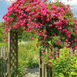 Flourishing rambler rose on an arched garden door — Stock Photo