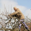 Aged gardener in the tree crown, cutting apple tree - Stock Photo