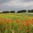 Cornfield with red poppies in the countryside, tuscany landscape — Stock Photo