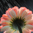 Gerber daisy in the rain — Stock Photo