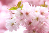 Flourishing japanese cherry tree branches — Stock Photo