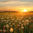 Stock Photo: Вandelion hayfield at sunset