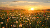 Вandelion hayfield at sunset — Stock Photo