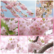Collage - cherry tree with blossoms at springtime — Stock Photo