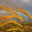 Golden barley ears against dramatic clouds — Stock Photo