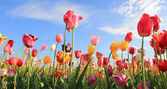 Beautiful tulip field multicolor — Stock Photo