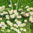 Garden lawn, blotched with daisy flowers — Stock Photo
