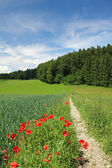 Summer landscape, cornfield with red poppies and walkway, germany — Stock Photo