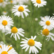Stock Photo: Marguerite wildflowers