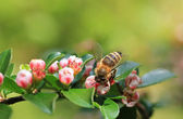 Blooming cotoneaster and honey bee — Stock Photo