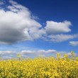 Canola field full bloom against cloudy sky — Stock Photo