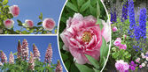 Collage of rose, paeony, garden lupin and delphinium — Stock Photo