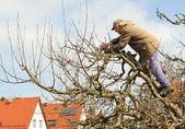 Senior gardener cutting trees — Stock Photo