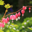 Stock Photo: Bleeding heart, perennial herb in garden