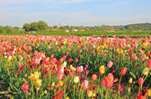 Tulip field for self cutting — Stock Photo