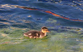 Swimming young duckling in the water — Stock Photo