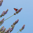 Six-spot moth on lavender — Stock Photo