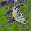 Iphiclides podalirius on lavender, endangered species — Stock Photo