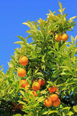 Orange tree against blue sky — Stock Photo