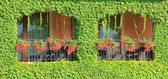 Balcony overgrown with ivy leaves and two windows with flowers — Stock Photo