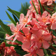 Closeup of blooming oleander — Stock Photo #29359323