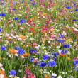 Beautiful wildflower meadow — Stock Photo