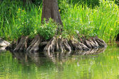 Bald cypress rootage — Stock Photo