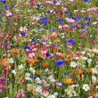 Beautiful wildflower meadow — Stock Photo #29879089