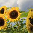 Stock Photo: Sunflower field against cloudy sky