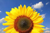 Bright sunflower head against blue sky with clouds — Stock Photo