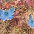 Two beautiful butterflies, polyommatus eros on fustet shrub in autumnal colors — Stock fotografie