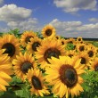 Stock Photo: Sunflower field against blue sky with clouds