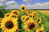 Sunflower field full bloom — Stock Photo