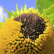 Sunflower with seeds, ripe for harvest — Stock Photo