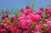 Flourishing pink rose bush, full bloom — Stock Photo