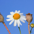 One Marguerite and poppy seed capsules against blue sky — Stock Photo #31692999