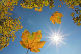 Falling maple leaves and blue sky with bright sun — Stock Photo